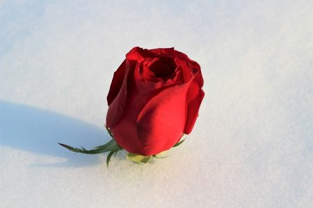 red-rose-in-snow-3193735_640