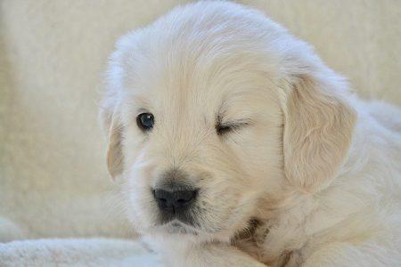 puppy-golden-3843837_640